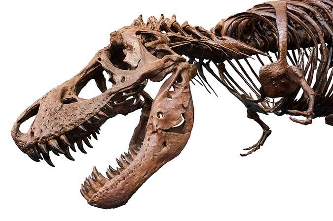 T Rex And Giganotosaurus Dinosaur Fossils