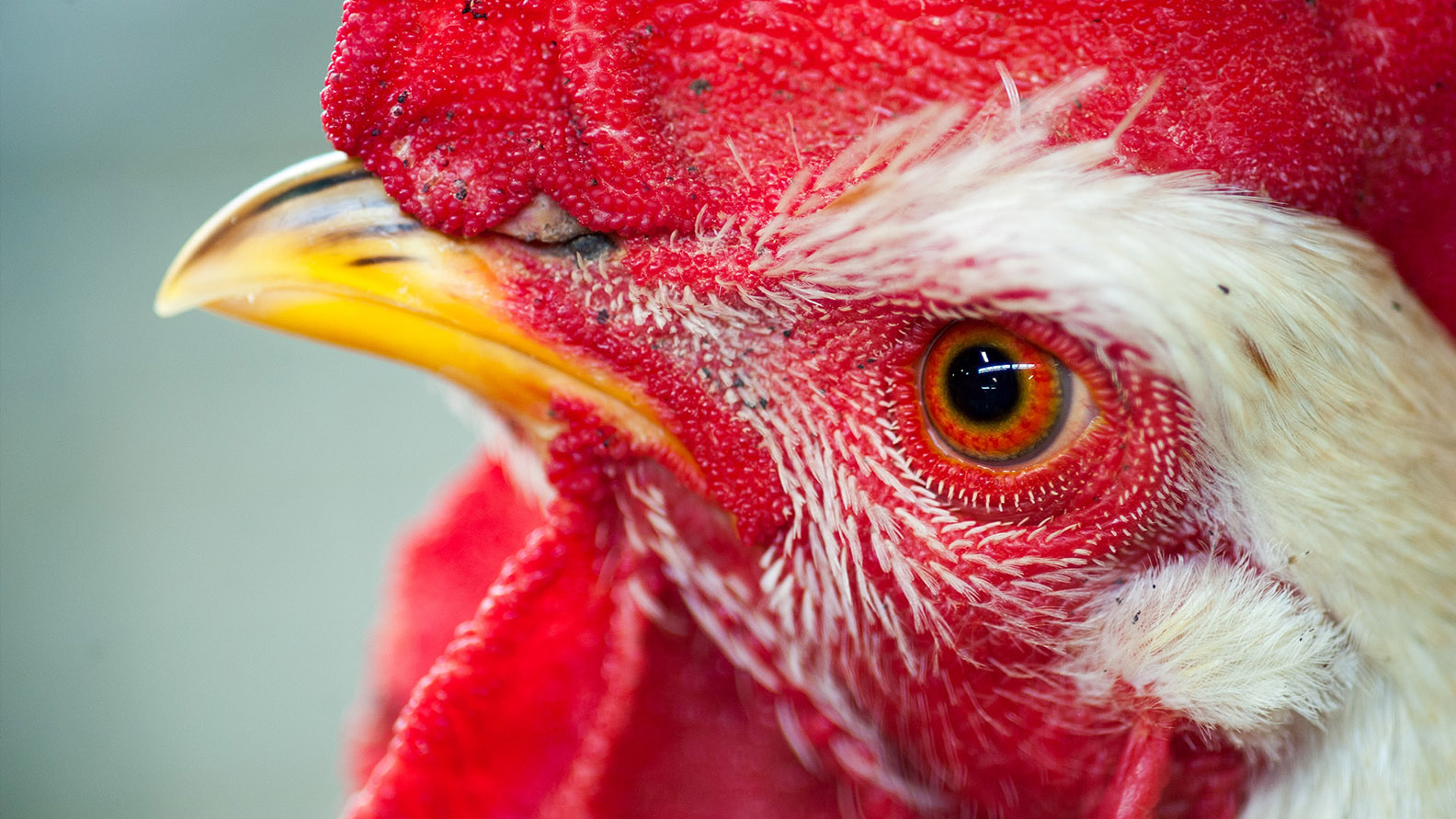 A macro shot of a roosters' head and eye at the 97th Annual Pennsylvania Farm Show