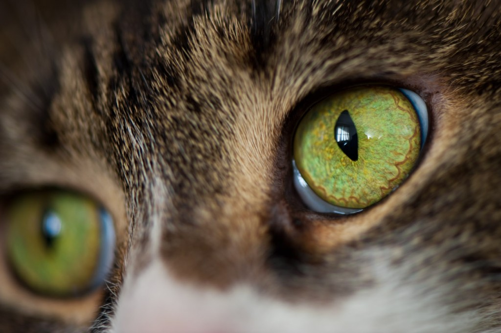 Macro shot of the cat Morgan's eye