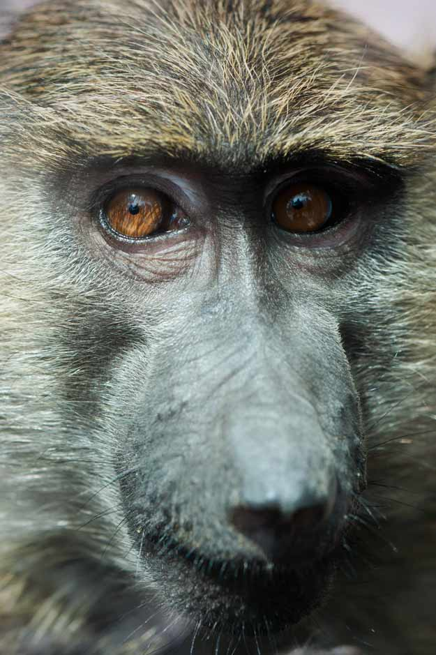 Close up of a baby baboon at the Lake Tobias Wildlife Park.