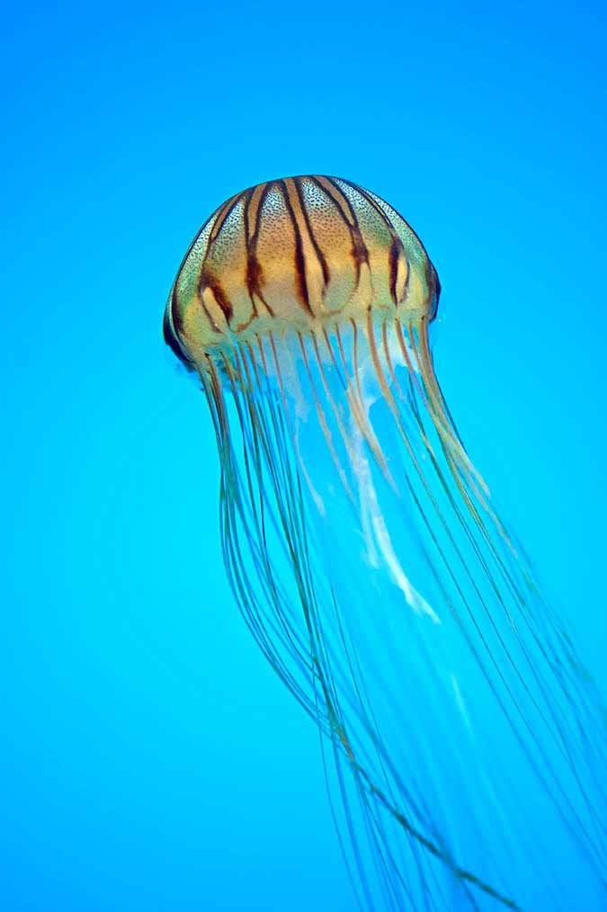 Northern Sea Nettle (Jellyfish) at the National Aquarium, Inner Harbor, Baltimore Maryland