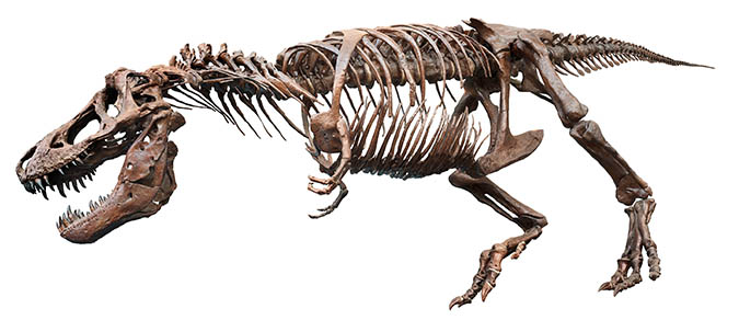 55 Mega Pixel Stock Photo of a T-Rex Fossil. Full Body with Mask and Clipping Path