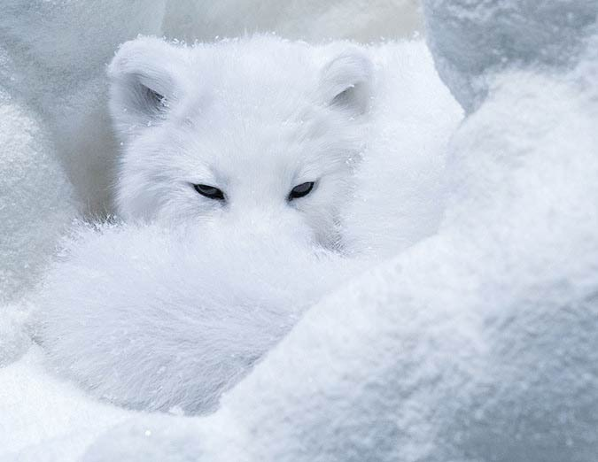 Snow photography of an arctic fox