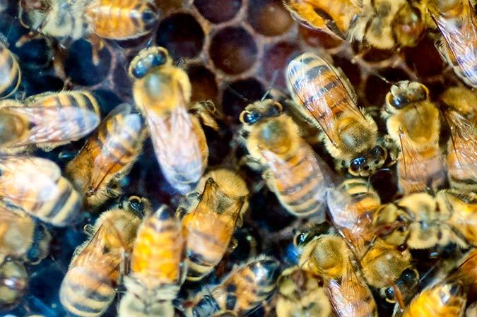 Honeybees at the 98th Pennsylvania Farm Show 2014
