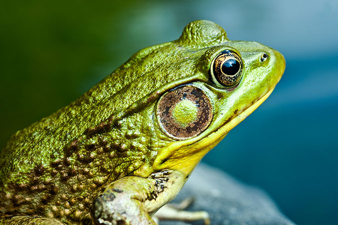 Macro photograph of a frog resting on a rock by a pond.