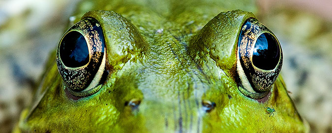 Macro of photo of a bull frogs face and eyes take with the Nikon D3 and the Micro-Nikkor 105 MM, f/2.8 AI-s lens