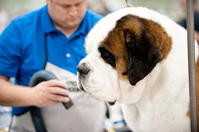 Photo of a St. Bernard on the grooming table at the Celtic Classic Dog Show 2015 - York PA