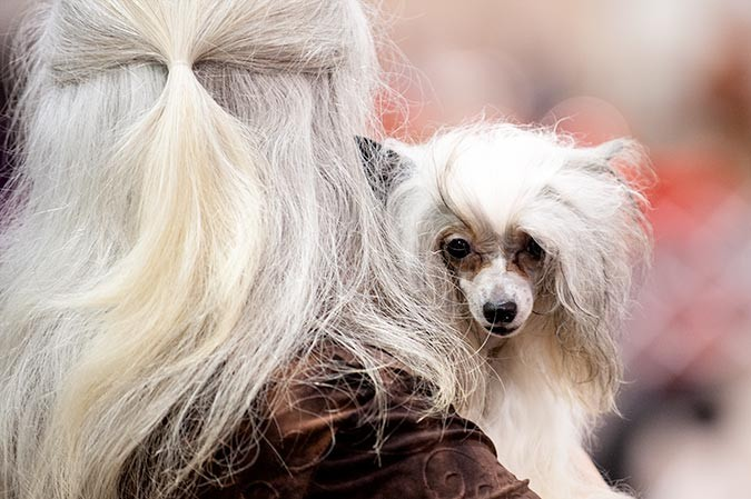 Photo of Kay Sivel with her Chinese crested at the Celtic Classic Dog Show 2015 in York, PA