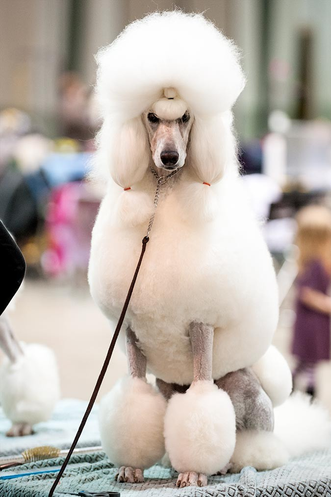 Photo of a Standard Poodle on the grooming table at the Celtic Classic Dog Show 2015 in York, Pennsylvania.
