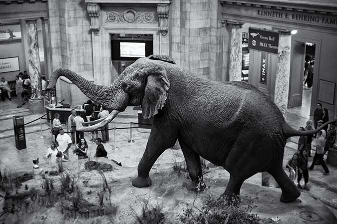 Black and white photo of Henry the elephant in the Rotunda of the Smithsonian's National Museum of Natural History in Washington DC