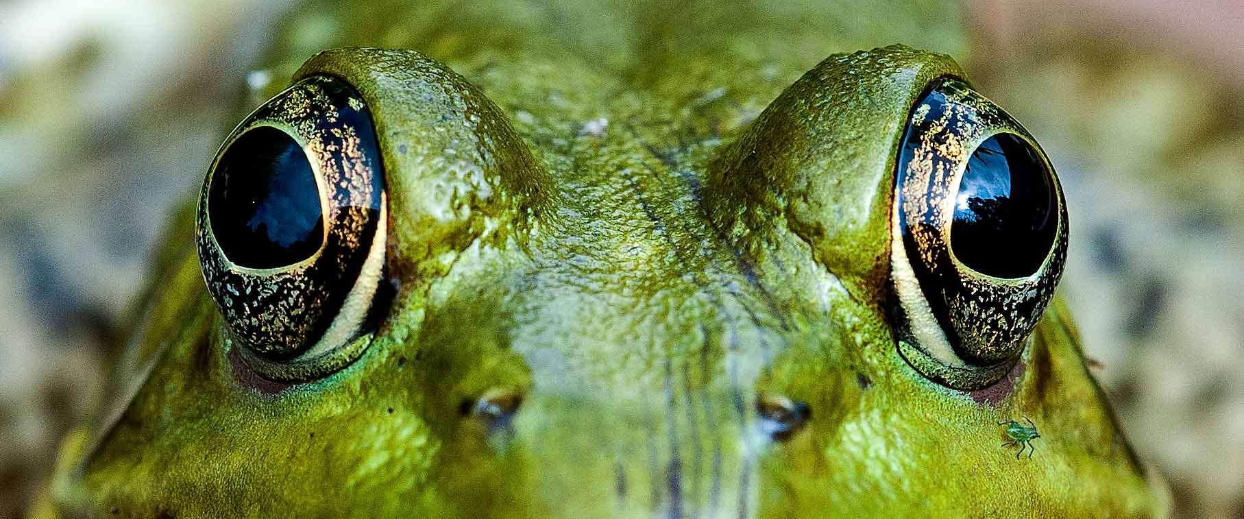 Starting a photography business. Macro of photograph of a bull frog's face and eyes
