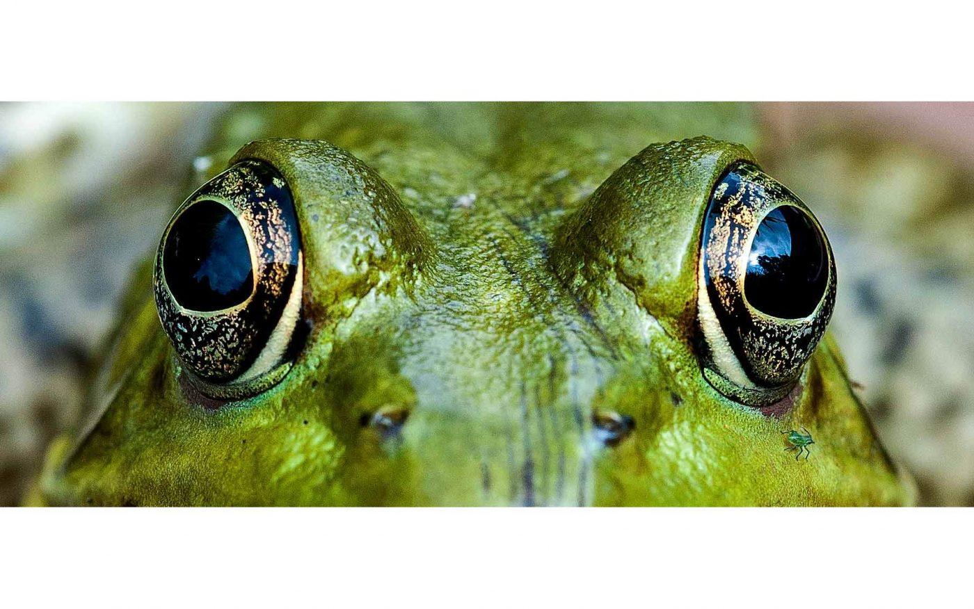 Macro of photo of a bullfrog's face and eyes
